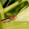 Belize 2017: Cotton Tree Lodge - Unidentified sssassin bug (Reduviidae)
