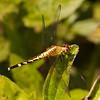 Belize 2017: Red-mantled Dragonlet (Libellulidae: Sympetrinae: Erythrodiplax fervida), female