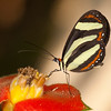 Belize 2017: Hickatee Cottages - Banded Tigerwing (Nymphalidae: Danainae: Ithomiini: Aeria eurimedia pacifica)