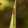 Belize 2017: Hickatee Cottages - Tropical Skimmer or Common Woodskimmer (Libellulidae: Brachydiplacinae: Uracis imbuta) female