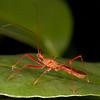 Belize 2017: Hickatee Cottages - Assassin Bug (Reduviidae: Harpactorinae: Debilia cf. rufescens)