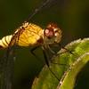 Belize 2017: Hickatee Cottages - Red-mantled Dragonlet (Libellulidae: Sympetrinae: Erythrodiplax fervida), female