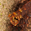 Belize 2017: Hickatee Cottages - Stingless bees (Apidae: Meliponinae: Meliponini: near Tetragonisca sp.)