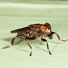 Belize 2017: Hickatee Cottages - Ropalomerid Fly (Ropalomeridae: Willistoniella sp.)