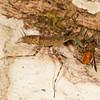 Belize 2017: Hickatee Cottages - Bark Mantis (Liturgusidae: Liturgusinae: Stagmomantini: Liturgusa sp.), with a freshly captured Doctor Fly (Tabanidae: Tabaninae: Diachlorini: Diachlorus ferrugatus). The Doctor Fly is also known as the Yellow Fly