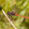 Belize 2017: Hickatee Cottages - Slender or Tropical King Skimmer (Libellulidae: Libellinae: Orthemis levis)