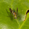 Belize 2017: Hickatee Cottages - Long-legged Fly (Dolichopodidae: Condylostylus sp.)