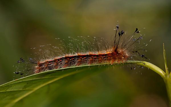 Belize 2017: Hickatee Cottages - Silkworm Moth caterpillar (Apatelodidae: Zanola cf. verago)