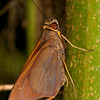 Belize 2017: Hickatee Cottages - Ruby-eye skipper (Hesperiidae: Hesperiinae: Calpodini: Carystoides sp.; near C. sicania)