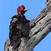 Woody woodpecker's cousin! #palebilledwoodpecker #tikal #guatemala
