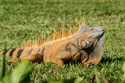 A large iguana along river bank