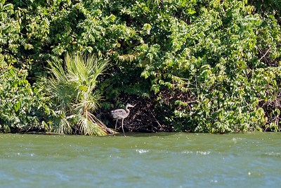A heron on shore of Belize River