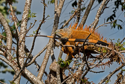 A large iguana in a tree along river bank
