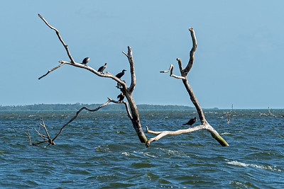 Birds on washed down tree in bay near Belize City