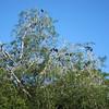 Turkey vultures (missed the iguanas)