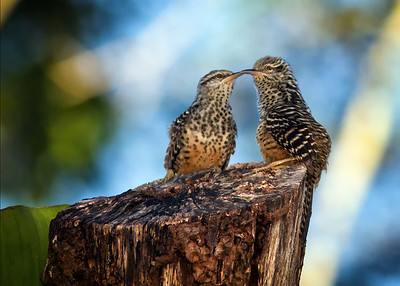 Band-backed wrens