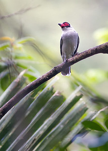 Red-masked Tityra