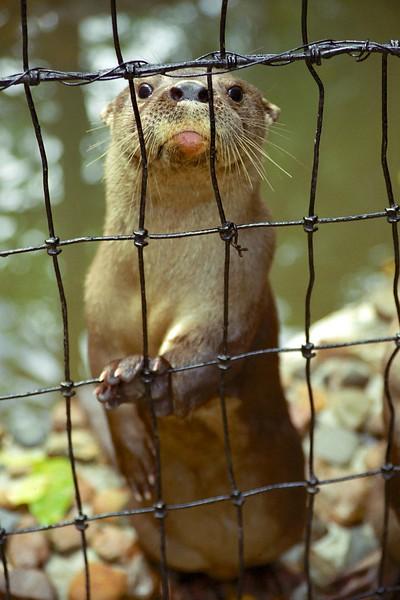 River otter - Belize Zoo, April 2004