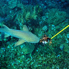 © Joseph Dougherty. All rights reserved.   Ginglymostoma cirratum  (Bonnaterre, 1788) Nurse Shark  Ambergris Caye, Belize.  Feeding a speared lionfish to a hungry nurse shark, like giving a bone to a laborador retriever.