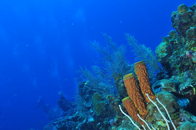 © Joseph Dougherty. All rights reserved.  Sponges and soft corals on the Belize Barrier Reef, Ambergris Caye, Belize.