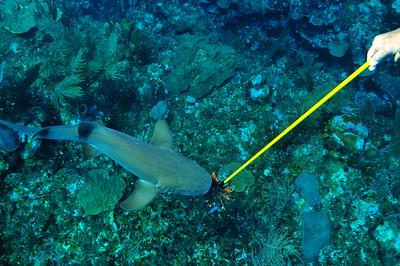 © Joseph Dougherty. All rights reserved.   Ginglymostoma cirratum  (Bonnaterre, 1788) Nurse Shark  Ambergris Caye, Belize.  Feeding a speared lionfish to a hungry nurse shark, like giving a bone to a laborador retriever.