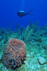 © Joseph Dougherty.  All rights reserved.   Xestospongia muta    Giant Barrel Sponge