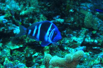 © Joseph Dougherty. All rights reserved.   Hypoplectrus indigo   (Poey, 1851)  Indigo Hamlet  Ambergris Caye, Belize.