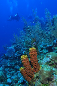 © Joseph Dougherty. All rights reserved.  Sponges and soft corals (Pseudopterogorgia elisabethae) on the Belize Barrier Reef, Ambergris Caye, Belize.