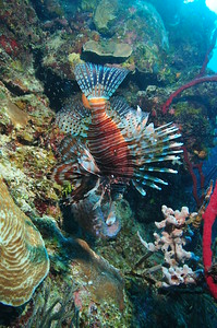 © Joseph Dougherty. All rights reserved.  Belize Barrier Reef, Ambergris Caye, Belize.