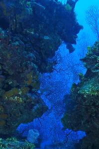 © Joseph Dougherty.  All rights reserved.   Iciligorgia schrammi Duchassaing, 1870 Deepwater Sea Fan  A deep water sea fan makes a jagged pattern across a cut in the reef  Belize Barrier Reef, Ambergris Caye, Belize.