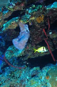 © Joseph W. Dougherty.  All rights reserved.   Porkfish (Anisotremus virginicus) among rope sponges (Amphimedon compressa) and Azure Vase Sponge (Callyspongia plicifera) .  Belize Barrier Reef, Ambergris Caye, Belize.