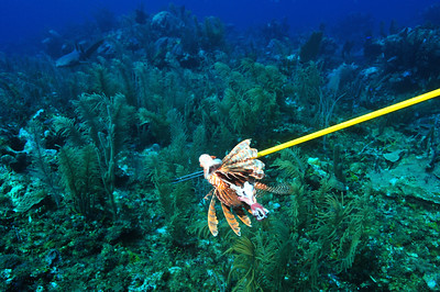 © Joseph Dougherty. All rights reserved.   Pterois volitans (Linnaeus, 1758)   Red Lionfish   Ginglymostoma cirratum  (Bonnaterre, 1788) Nurse Shark  Ambergris Caye, Belize.  Feeding a speared lionfish to a hungry nurse shark, like giving a bone to a laborador retriever.