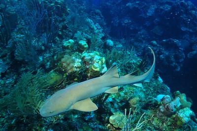 © Joseph Dougherty. All rights reserved.   Ginglymostoma cirratum  (Bonnaterre, 1788) Nurse Shark  Ambergris Caye, Belize.