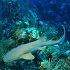 © Joseph Dougherty. All rights reserved.   Ginglymostoma cirratum  (Bonnaterre, 1788) Nurse Shark  Ambergris Caye, Belize.