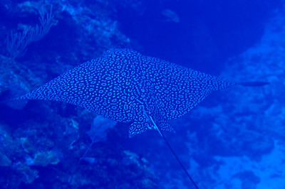 © Joseph Dougherty. All rights reserved.   Aetobatus narinari  (Euphrasén, 1790) Spotted Eagle Ray  Ambergris Caye, Belize.  Spotted eagle ray preys mainly upon bivalves, shrimps, crabs, whelks, and other benthic infauna. They feed on mollusks and crustaceans (particularly malacostracans) and also upon hermit crabs,[ shrimp, octopi, and some small fish.  The spotted eagle ray's specialized chevron-shaped tooth structure helps it to crush the mollusks' hard shells. The jaws of these rays have developed calcified struts to help them break through the shells of mollusks, by supporting the jaws and preventing dents from hard prey. These rays have the unique behavior of digging with their snouts in the sand.