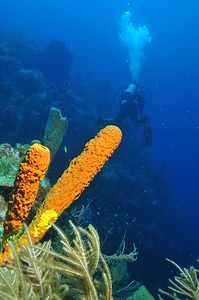 """© Joseph Dougherty. All rights reserved.  A great diversity of sponges, corals, and octocorals festoon the wall at """"The Aquarium"""" dive site off Half Moon Caye, Lighthouse Reef Atoll, Belize."""