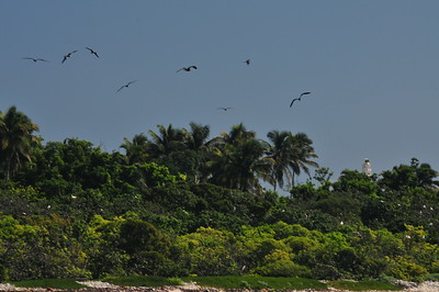 © Joseph Dougherty.  All rights reserved.   Half Moon Caye on the southeastern corner of Lighthouse Atoll.  One of Half Moon Caye's principal inhabitants is the Red-footed Booby with a population around 4,000 breeding birds. Half Moon Caye supports what is considered the only viable breeding Red-footed Booby colony in the western Caribbean. The colony can be viewed from an observation platform located in the littoral forest on the western end of the caye.