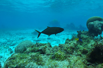 © Joseph Dougherty. All rights reserved.  Bar Jack, in black phase.   Hol Chan Marine Reserve, Ambergris Caye, Belize