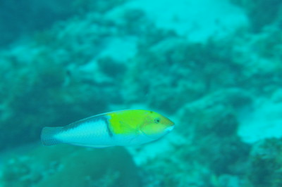 © Joseph Dougherty. All rights reserved.   Halichoeres garnoti   (Valenciennes, 1839)   (terminal male)  Yellowheaded Wrasse    Yellow-headed Wrasse, terminal male.