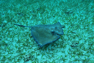 © Joseph Dougherty. All rights reserved.  Southern Stingray, with old healed propeller wound.
