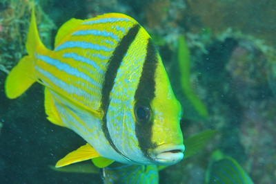 Anisotremus virginicus (Linnaeus, 1758) Porkfish   © Joseph W. Dougherty, MD. All rights reserved.