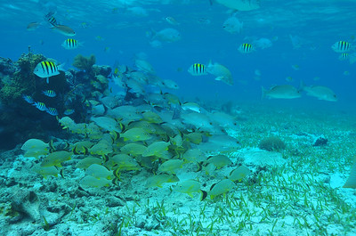 © Joseph Dougherty. All rights reserved.  School or grunts and snapper on the shallow patch reef, inside the lagoon behind the crest of the Belize Barrier Reef.  Hol Chan Marine Reserve, Ambergris Caye, Belize