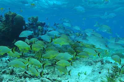 © Joseph Dougherty. All rights reserved.  School of grunts and snapper on the shallow patch reef, inside the lagoon behind the crest of the Belize Barrier Reef.  Hol Chan Marine Reserve, Ambergris Caye, Belize