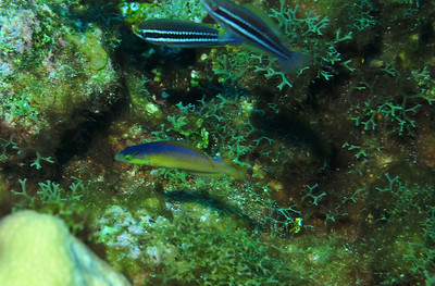 © Joseph Dougherty. All rights reserved.   Halichoeres garnoti     (intermediate phase) Yellowheaded Wrasse   and Scarus croicensis    (juvenile) Striped Parrotfish    Juvenile wrasse and young Striped Parrotfish.
