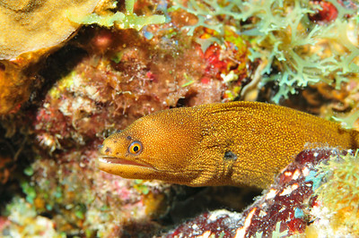 © Joseph Dougherty.  All rights reserved.  Gymnothorax miliaris  (Kaup, 1856) Goldentail Moray Eel aka Golddust Moray  Size: 1 to 1.5 ft. (30 to 45 cm)   Depth: 5-50 ft. (2-15 m) Distribution: Caribbean, Bahamas, Florida, Bermuda, Gulf of Mexico, into the mid-Atlantic islands and eastern Atlantic, including Cape Verde, Ascension and St. Helena islands.  Belize Barrier Reef, Ambergris Caye, Belize.