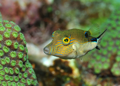 © Joseph Dougherty. All rights reserved.  Canthigaster rostrata (Bloch, 1786) Caribbean Sharpnose Pufferfish  Sharpnose puffers are omnivores that consume small reef invertebrates, such as crabs, shrimps, polychaete worms, and snails; they may also graze on sponges, algae, and seagrass. These fish, like other puffers, possess tetrodotoxin which makes them poisonous to eat. As such, most reef predators avoid them. However, they are still occasionally consumed by groupers, snappers, barracuda and eels.