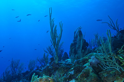 © Joseph Dougherty.  All rights reserved.  Soft corals and gorgonians on a Belize reef.