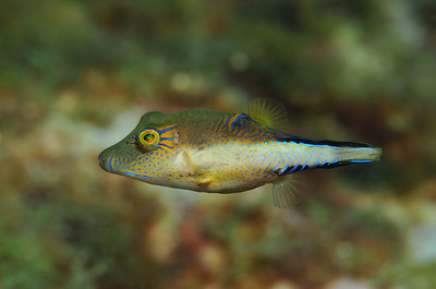© Joseph Dougherty. All rights reserved.  Canthigaster rostrata (Bloch, 1786) Caribbean Sharpnose Pufferfish