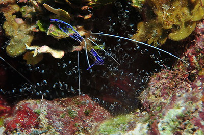 """© Joseph Dougherty. All rights reserved.  Pederson's Cleaner Shrimp (Periclimenes pedersoni) in a Corkscrew Anemone (Bartholomea annulata).  These shrimp lure fish with their antennae so they can comb the fish's body in a """"cleaning"""" process, picking off parasites and dead tissue. Many fish will even let them clean the inside of their mouths. These shrimp form relationships with anemones, especially the Corkscrew Anemome. The anemone allows the shrimp to live within its tentacles for protection, and in return receives scraps from the shimp's meals. These shrimp have transparent bodies with beautiful blue and purple markings.  The shrimp subfamily Pontoniinae inhabit coral reefs, where they associate with certain invertebrates such as sponges, cnidarians, mollusks and echinoderms. This group includes cleaner shrimps as well as parasites and commensals. They generally feed on detritus, though some are carnivores and hunt tiny animals.  Belize Barrier Reef, Ambergris Caye, Belize."""