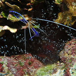 � Joseph Dougherty. All rights reserved.  Pederson's Cleaner Shrimp (Periclimenes pedersoni) in a Corkscrew Anemone (Bartholomea annulata).  These shrimp lure fish with their antennae s ...